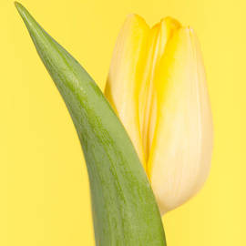 Mark Monckton - Yellow Tulip