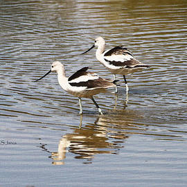 Tom Janca - Young Avocets
