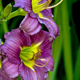 Rick Grisolano Photography LLC - 2013 July Dual Lavender Daylilies