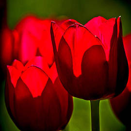 Rick Grisolano Photography LLC - 2013 May Tulips