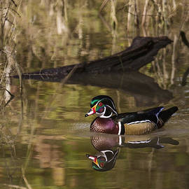 Rick Grisolano Photography LLC - 2013 Oct Wood Duck Drake on the Creek No 2