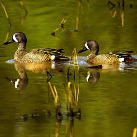Rick Grisolano Photography LLC - 2014 May Blue Winged Teal No 6
