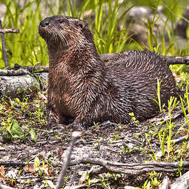 Rick Grisolano Photography LLC - 2014 May Female River Otter No 2