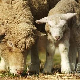 Robin Lee Mccarthy Photography - #237 Mom and Baby Lamb FILM