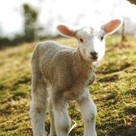 Robin Lee Mccarthy Photography - 244 20a Mom Over Baby Lamb New Born on Ingaldsby Farm Boxford Massachusetts