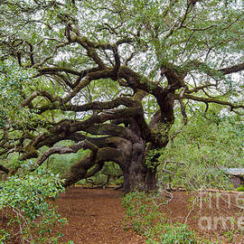 Dale Powell - Quercus Virginiana