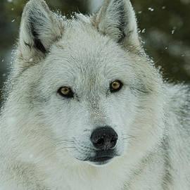 Steve McKinzie - Arctic Wolf