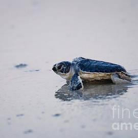 Dawna  Moore Photography - Baby Green Sea Turtle Amelia Island Florida