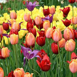 Eva Kaufman - Colorful Tulips
