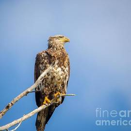Warrena Barnerd - Juvenile Bald Eagle