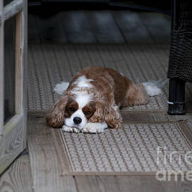Dale Powell - Cavalier King Charles