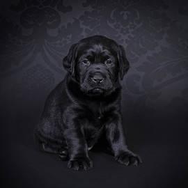 Waldek Dabrowski - Labrador retriever puppy