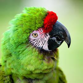 Sebastian Musial - Parrot
