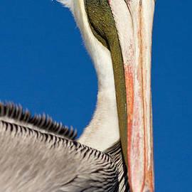 Les Palenik - Pelican