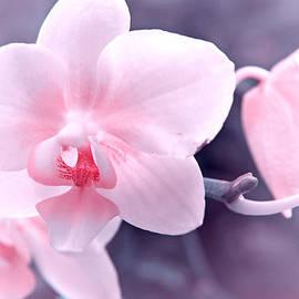 Lali Kacharava - Pink orchid