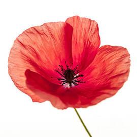 Elena Elisseeva - Red poppy flower