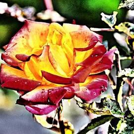 Klaas Hartz - Rose