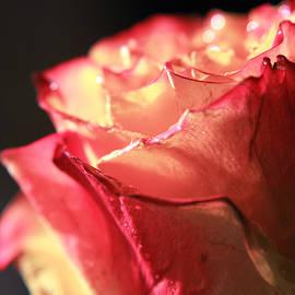 Lali Kacharava - Rose on black