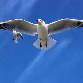 Colin Hunt - Seagulls In Flight Photo #002