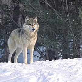 Les Palenik - Timber Wolf