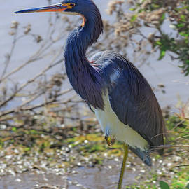 Louise Heusinkveld - Tricolored Heron