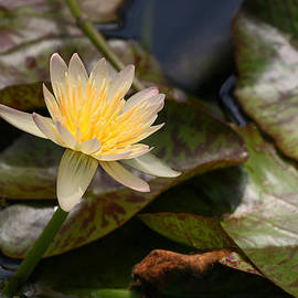 Allen Beatty - Water Lily 19