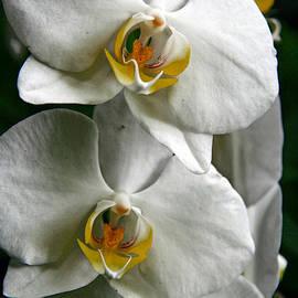 Lali Kacharava - White orchid