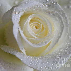 Tracy  Hall - White Rose
