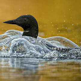 Loon  Images - Common Loon