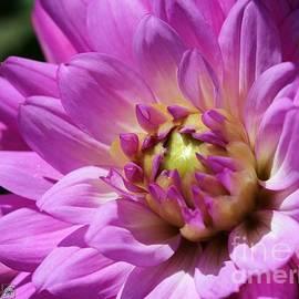 J McCombie - Dahlia named Lilac Time