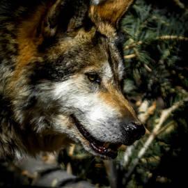 Ernie Echols - Mexican Grey Wolf