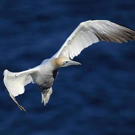Maria Gaellman - Northern Gannet in flight
