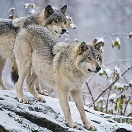 Michael Cummings - Timber Wolves