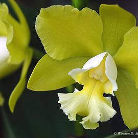 Winston D Munnings - Cattleya Orchid