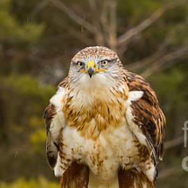 Les Palenik - Ferruginous Hawk