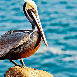 Ben Graham - Brown Pelican