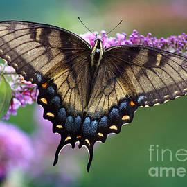Karen Adams - Eastern Tiger Swallowtail Butterfly on Butterfly Bush