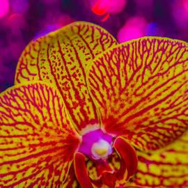 Gerald Kloss - Orchid