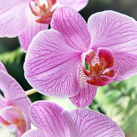 Lali Kacharava - Orchid