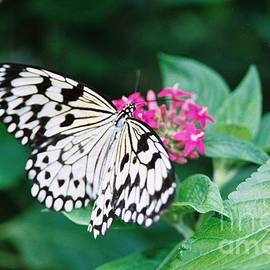 Robin Lee Mccarthy Photography - #686 19a Wings Of Joy butterfly black and white