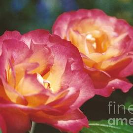Robin Lee Mccarthy Photography - #704 1a Love Roses Double Delight Perfect Together Perfect Moment