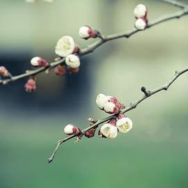 Roksana Bashyrova - Apricot tree flower
