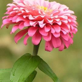 Robin Lee Mccarthy Photography - #865 D486 Zinnia Pink Zinnia Blast Thinking of you