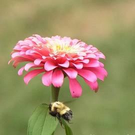 Robin Lee Mccarthy Photography - #867 D488 Bee Happy Zinnia