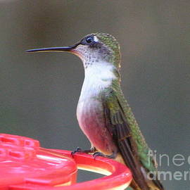 Robin Lee Mccarthy Photography - #872 D493 Lending An Ear Hummingbird
