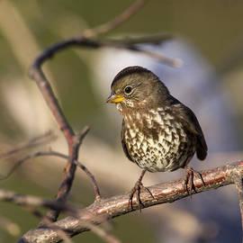 Doug Lloyd - Fox Sparrow