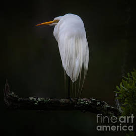 Dale Powell - Great White Heron