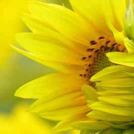 Robin Lee Mccarthy Photography - #923 D727 Awakening Sunflower on Colby Farm Newbury Massachusetts     New Beginnings