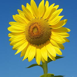 Robin Lee Mccarthy Photography - 923 D736 Have A Happy Day Sunflower on Colby Farm Newbury Massachusetts
