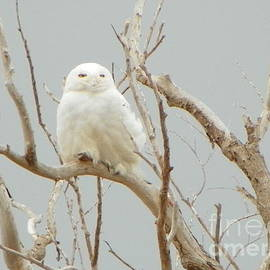 Robin Lee Mccarthy Photography - 932 D942 Snowy Owl Salisbury Beach State Reservation
